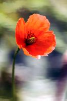 poppy  Coquelicot by hubert61