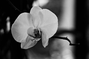 Orchid flowers 36 by a6-k
