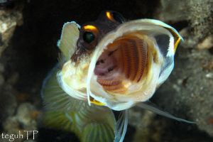 blotched jawfish by aquanauts74