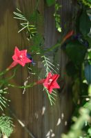 Cypress Vine by Soulrever65