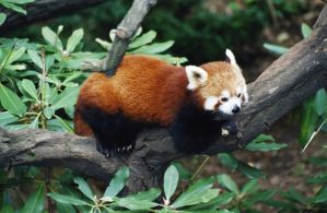 Red Panda by DolfD
