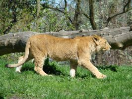 Stock 376: young lion walking by AlzirrSwanheartStock