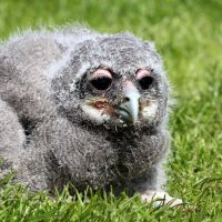 Owl Chick 02 by s-kmp