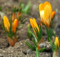 Yellow crocuses by black-ladybird