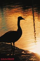 Goose at dusk by cloud00101
