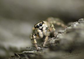 Super cute Zebra Jumping Spider by TheFunnySpider