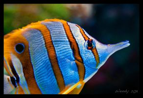Copperband Butterflyfish by RoyallyCrimson