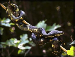 Eastern Kingsnake 50D0004068 by Cristian-M
