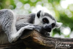 Tailed lemur by KatrinaSwinnley