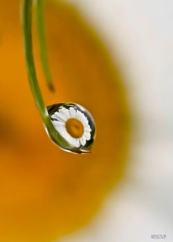 A Daisy Drop by iriscup