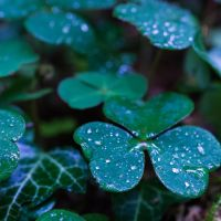 Clover in the rain by Akxiv