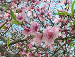 Peach Blossoms by Eeni