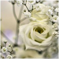 Softness white rose 1 by FrancescaDelfino