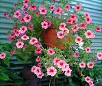 Million Bells Hanging Basket by kayandjay100