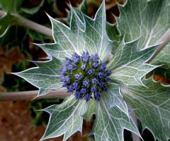 Sea Holly by nectar666