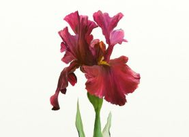 Red Iris by DropletsofDew