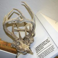 MoA Museum 136 Stuck Antlers by Falln-Stock