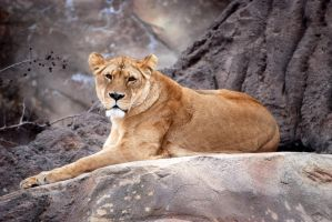 Gorgeous Lioness by decideroffate