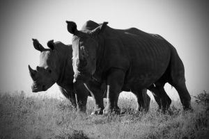 Rhinos, South Africa Pt II by heatherae