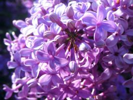 Lilas by JELawrence