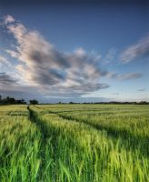 Barley in the Wind by DL-Photography