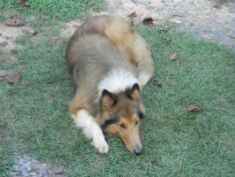 Rough Collie by wolfluver67
