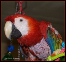 RedbirdRedbird The Scarlet Macaw by Lion6255