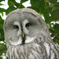 Grumpy Grey Owl by thrumyeye