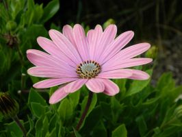 Pink Flower 008 - HB593200 by hb593200