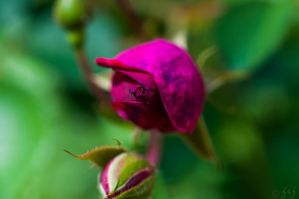 Budding Roses by Merlinman50