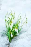 Snowdrops II by Dark-Raptor