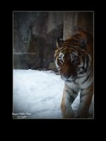 Tiger 67876 by Dragon-Celtic-Chan