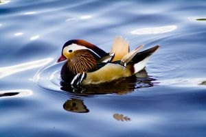Mandarin Duck by Seedow