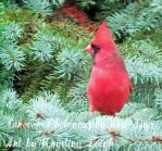 Cardinal on Blue Spruce by KrystinaLeigh