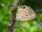 lycaenid butterfly by nephelae