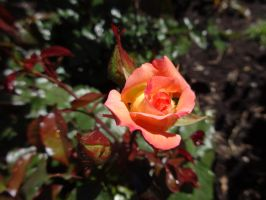Blooming rose bud by Renwa20