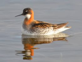 Red-necked Phalarope 03 by nordfold