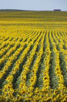 Sunflower Field, SD, 08/2/2013 6:14PM by Crigger