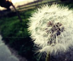 - Dandelion - by Maria-92