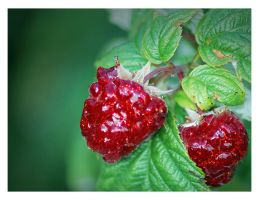 The Glamorous Life of a Berry by nemi23