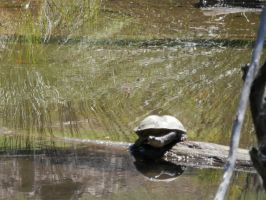 Turtle on a log by AussieFlea