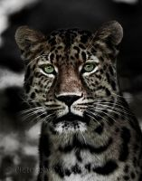 The Amur Leopard II by PictureByPali