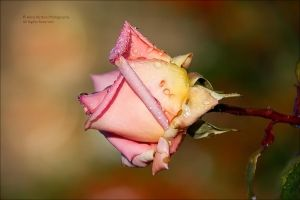 A ROSE ON AN EARLY DECEMBER MORNING by AnnaKirsten