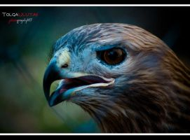 Eagle.. by tulutass
