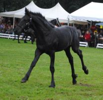 Friesian Foal Stock 06 by ponystock