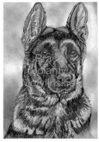 The German Shepherd Dog by jolabrodnica