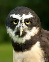 Spectacled Owl by lost-nomad07