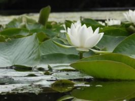Water Lilly by soXsiting