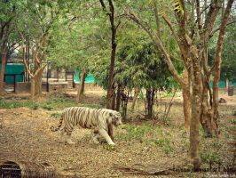 White Tigress by tiunna
