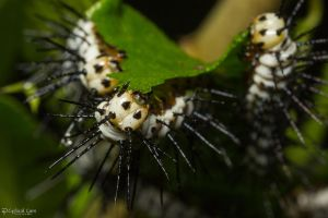 Zebra longwing caterpillars eating by CyclicalCore